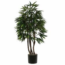 Ridge Fir Mango Executive Tree in Pot