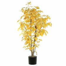 Ridge Fir Aspen Executive Tree in Pot