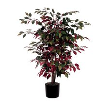 Capensia Bush Tree in Pot