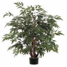 Ming Aralia Bush Tree in Pot