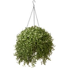 Argentia Hanging Plant in Basket