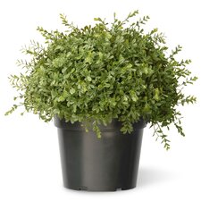 Tea Leaf Mini Ball Desk Top Plant in Pot