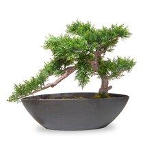 Cedar Bonsai Desk Top Plant in Pot