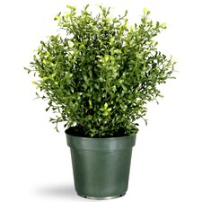Argentia Plant in Pot