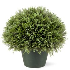 Juniper Bush Desk Top Plant in Pot