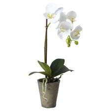 Phaleonopsis Desk Top Plant in Pot (Set of 4)