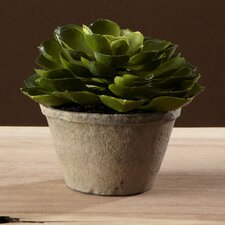Sonoran Highlands Potted Echeveria Succulent