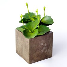 Sonoran Highlands Cabbage Succulent Desk Top Plant in Pot (Set of 3)