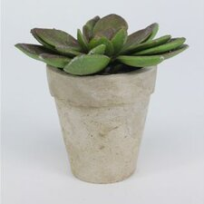 Sonoran Highlands Echeveria Succulent Desk Top Plant in Pot