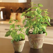 Potted Basil Desk Top Plant in Decorative Vase