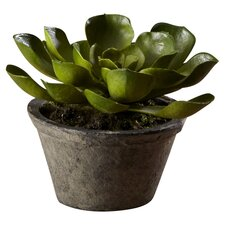 Sonoran Highlands Potted Echeveria Succulent Desk Top Plant in Pot