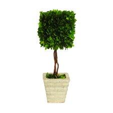 Boxwood Square Topiary in Planter