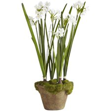 Fleur Potted Paperwhites (Set of 6)