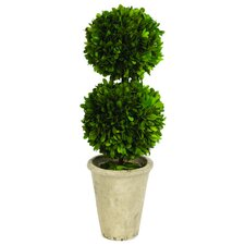 Double Ball Boxwood Round Tapered Topiary in Planter