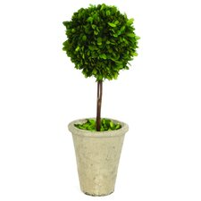 Single Ball Boxwood Topiary