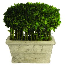 Boxwood Half Ball Desk Top Plant in Planter
