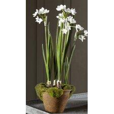 Fleur Potted Paperwhites
