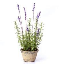 Lavender Plant in Terracotta Pot (Set of 4)