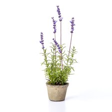 Lavender Plant in Terracotta Pot