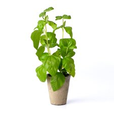 Basil Plant in Terracotta Pot