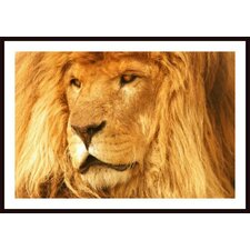 'A Lion' by Con Tanasiuk Framed Photographic Print