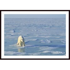 Single Polar Bear Wall Art by John Pitcher