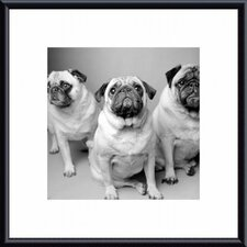 Three Pugs Metal Framed Art Print