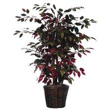 Capensia Silk Tree