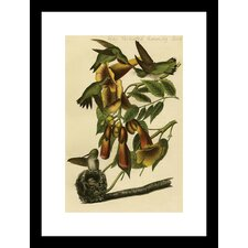 Ruby Throated Humming Bird by R. Havell Framed Painting Print