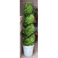 Boxwood Spiral Topiary