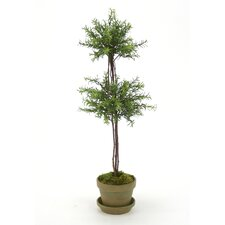 Double Rosemary Topiary in Pot