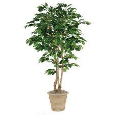 Green Ficus Tree in Planter