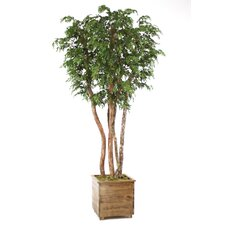 "108"" Ming Aralia Tree in Medium Stained Wood Planter with Feet"