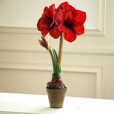 Amaryllis in Terracotta Pot