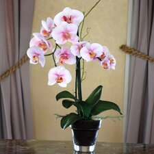 Phalaenopsis Orchid in Glass Pot