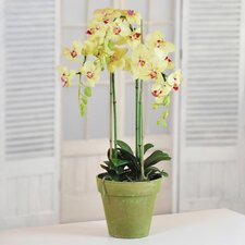 Phalaenopsis Orchids in Pot
