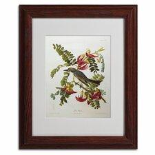 John James Audubon 'Gray Tyrant Gray Kingbird' Framed Art