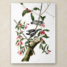 John James Audubon 'Downy Woodpecker' Canvas Art