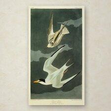 John James Audubon 'Lesser Tern Little Tern' Canvas Art