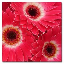 "<strong>Trademark Fine Art</strong> ""Magenta Gerbers"" Canvas Art"