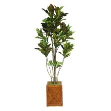 Tall Croton Tree with Multiple Trunks in Fiberstone Planter