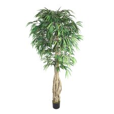 Willow Ficus Tree in Pot