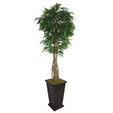 Tall Willow Ficus with Multiple Trunks in Fiberstone Planter