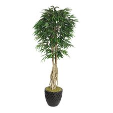 Tall Willow Ficus Multiple Trunks Tree in Planter