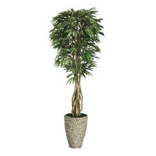 Tall Willow Ficus Tree in Planter