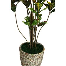 Tall Croton Multiple Trunks Tree in Planter