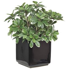 Artificial Mini Variegated Pittosporum Desk Top Plant in Pot