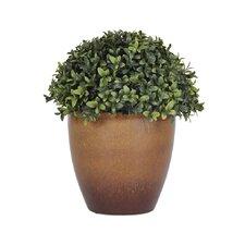Half Ball Boxwood Topiary