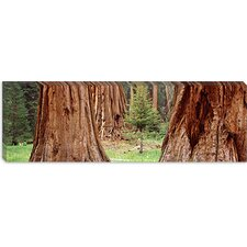 <strong>iCanvasArt</strong> Sapling among Full Grown Sequoias, Sequoia National Park, California Canvas Wall Art