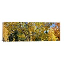 Panoramic Aspen Trees in Autumn, Colorado, USA Photographic Print on Canvas